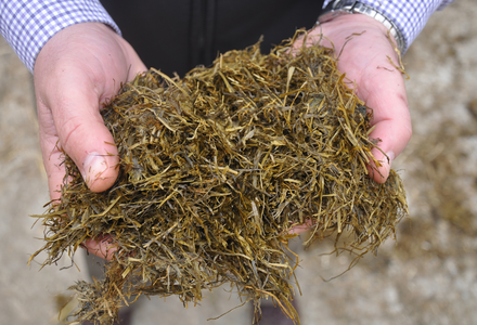 Silage in hands 2  listing